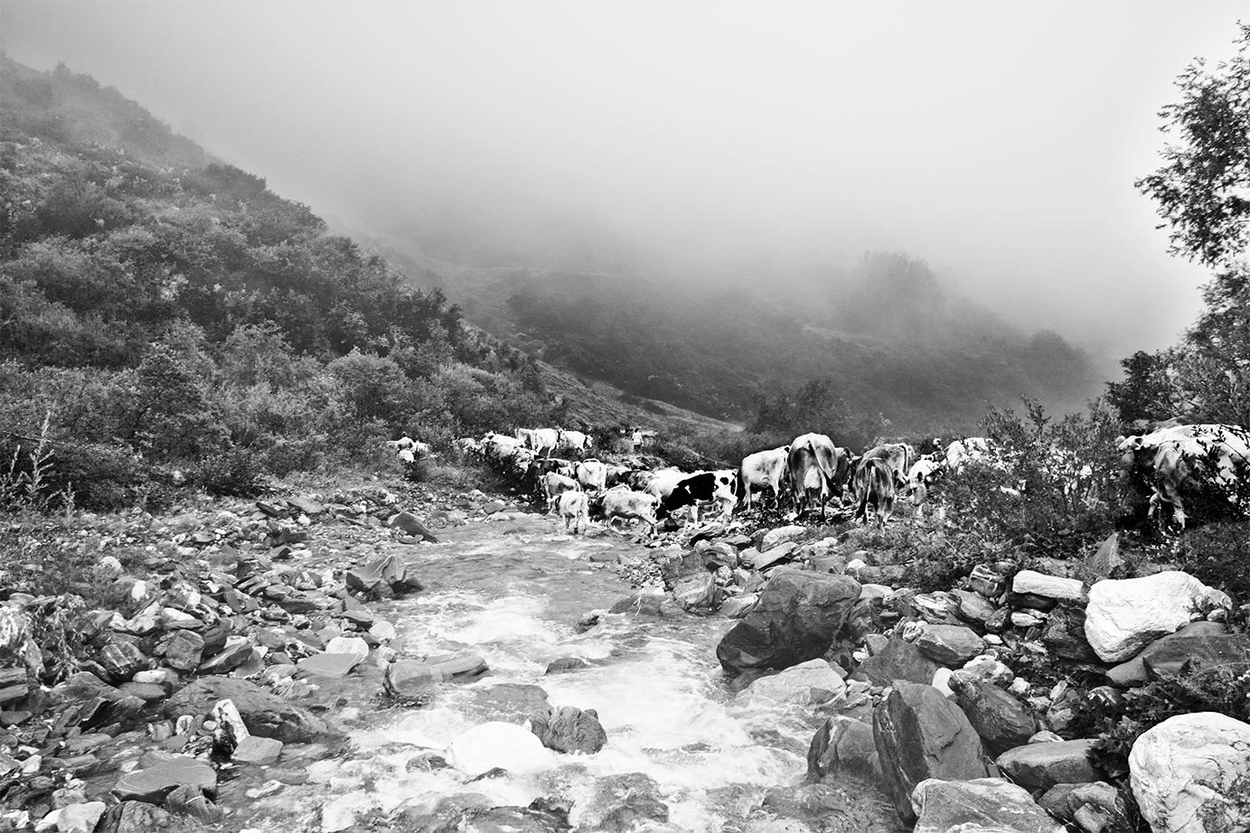 Piggamatt Viehtrieb über die Rabiusa auf den Boda